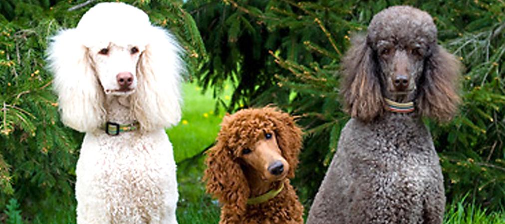 Red Poodles Poodle Dog Breed Information Facts Mypoodle
