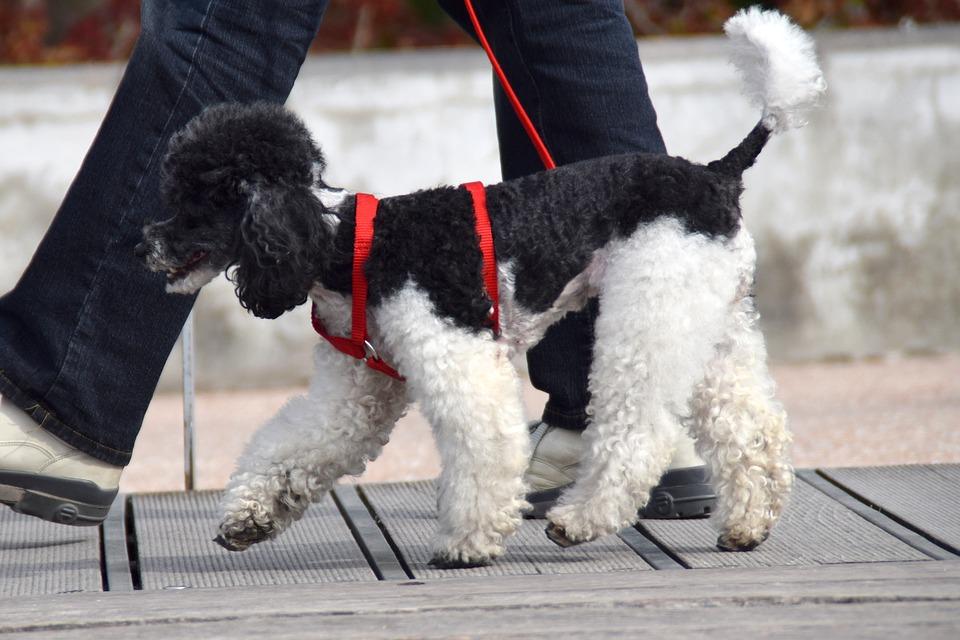 poodle walks