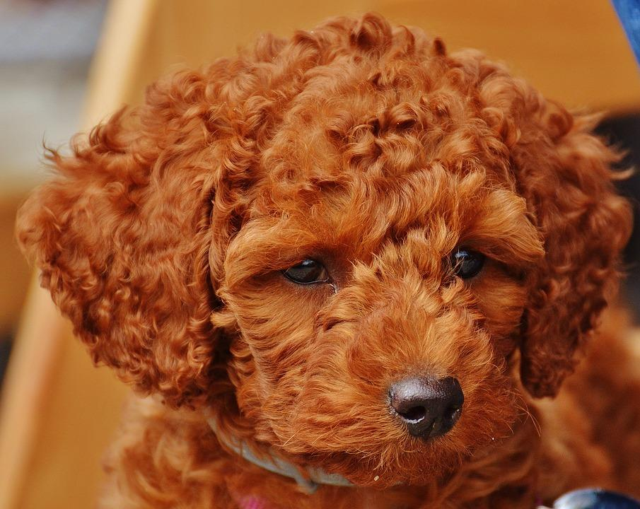 red dog poodle