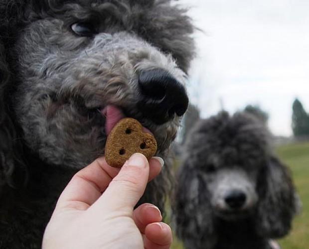 poodle eat tasty