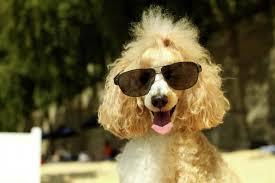 poodle summer