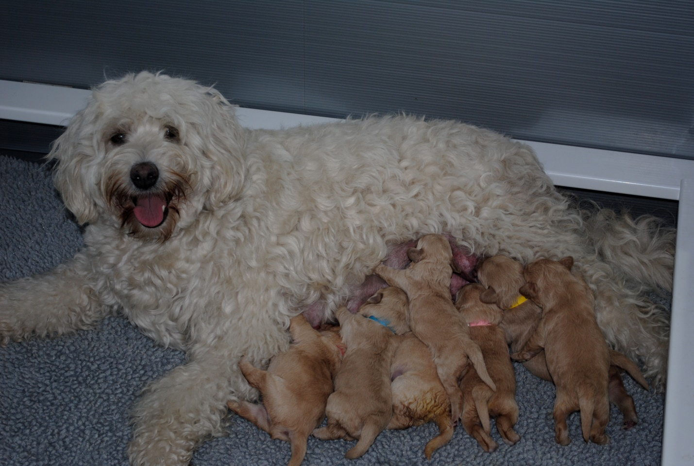 Poodle Pregnancy   Poodle Dog Breed Information, Facts – myPoodle