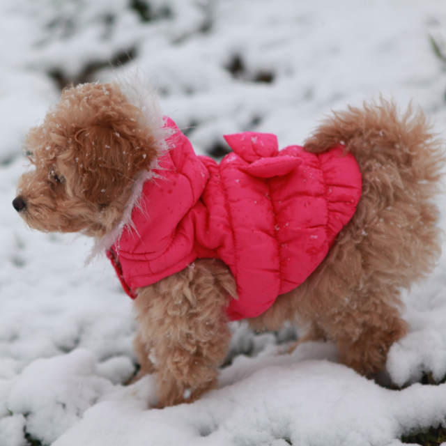 poodles in winter