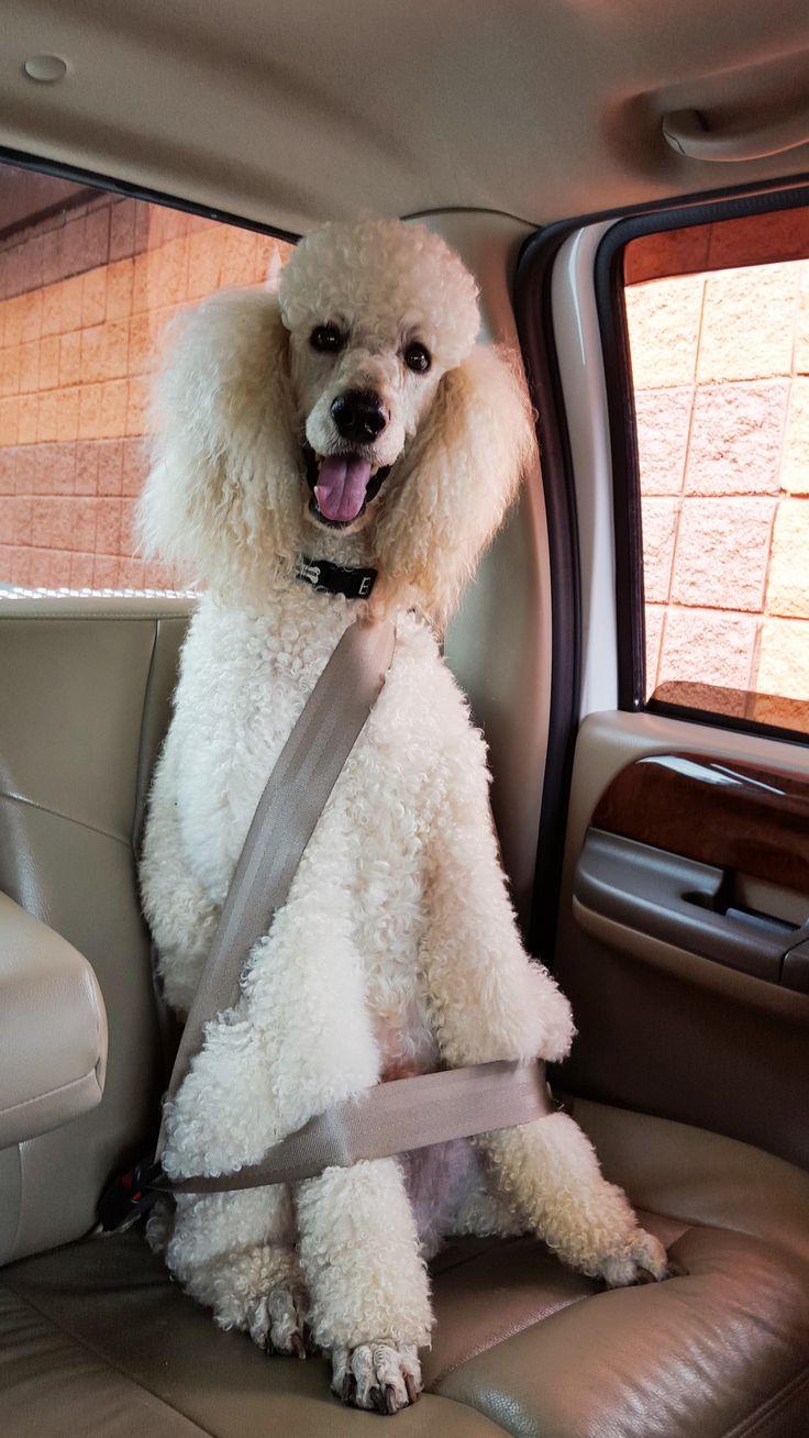 seatbelt pooodle