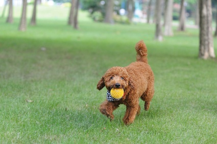 a poodle and a ball