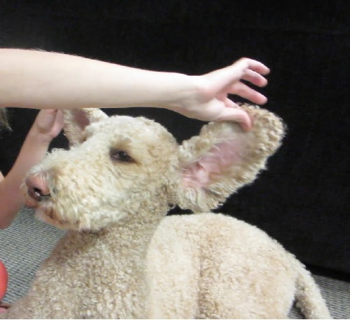showing poodles ears