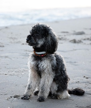poodle near the seaside