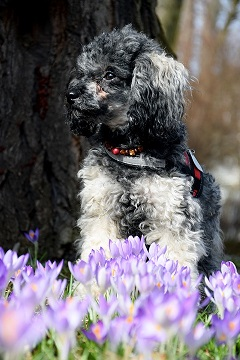 poodle posing after the flowers