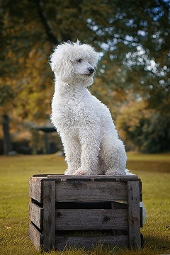 poodle sit on the wood box