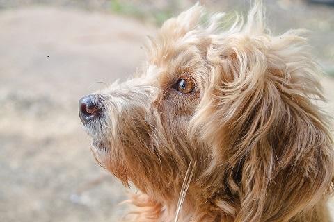 poodles face