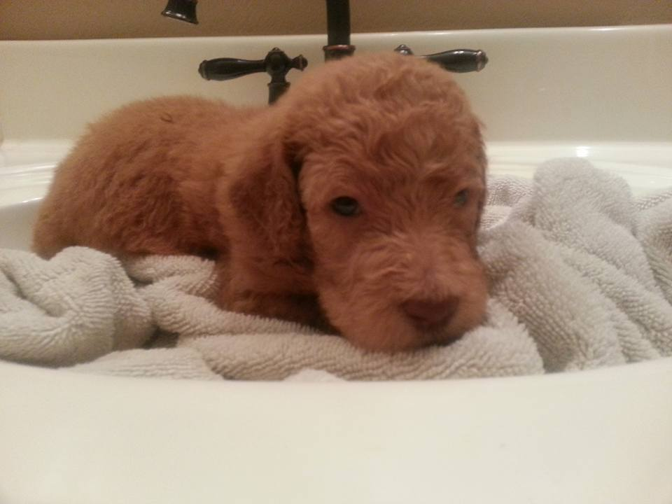 poodle lay on the towel