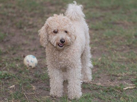 poodle plays with a ball