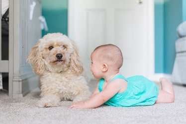 poodle plays with a baby