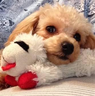 non ill poodle