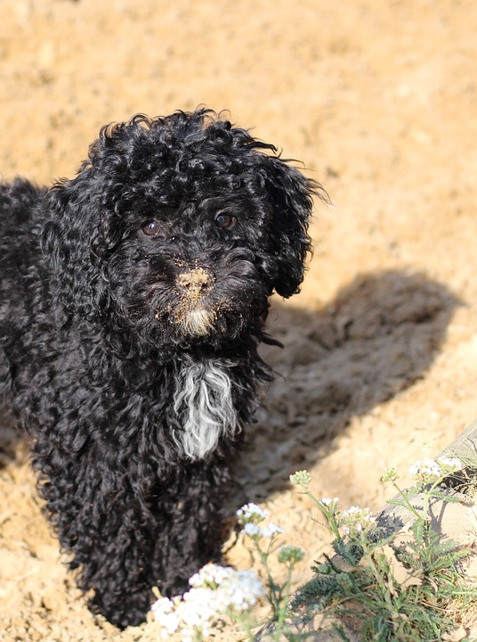 poodle on the beach