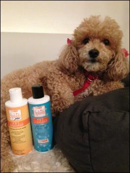 poodle lay near shampoo