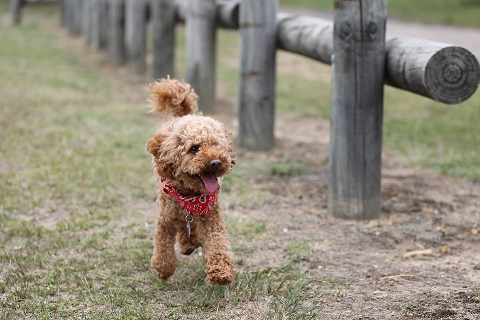 poodle is running