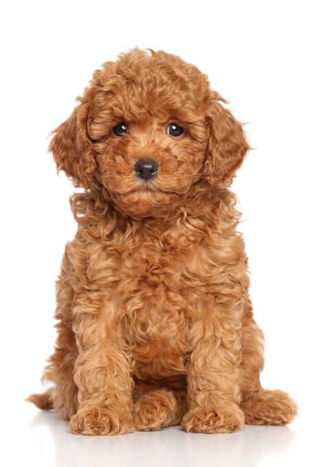 red poodle puppy photo