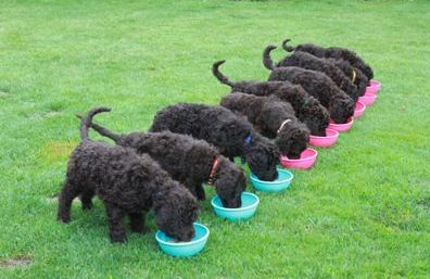 photo of the poodles