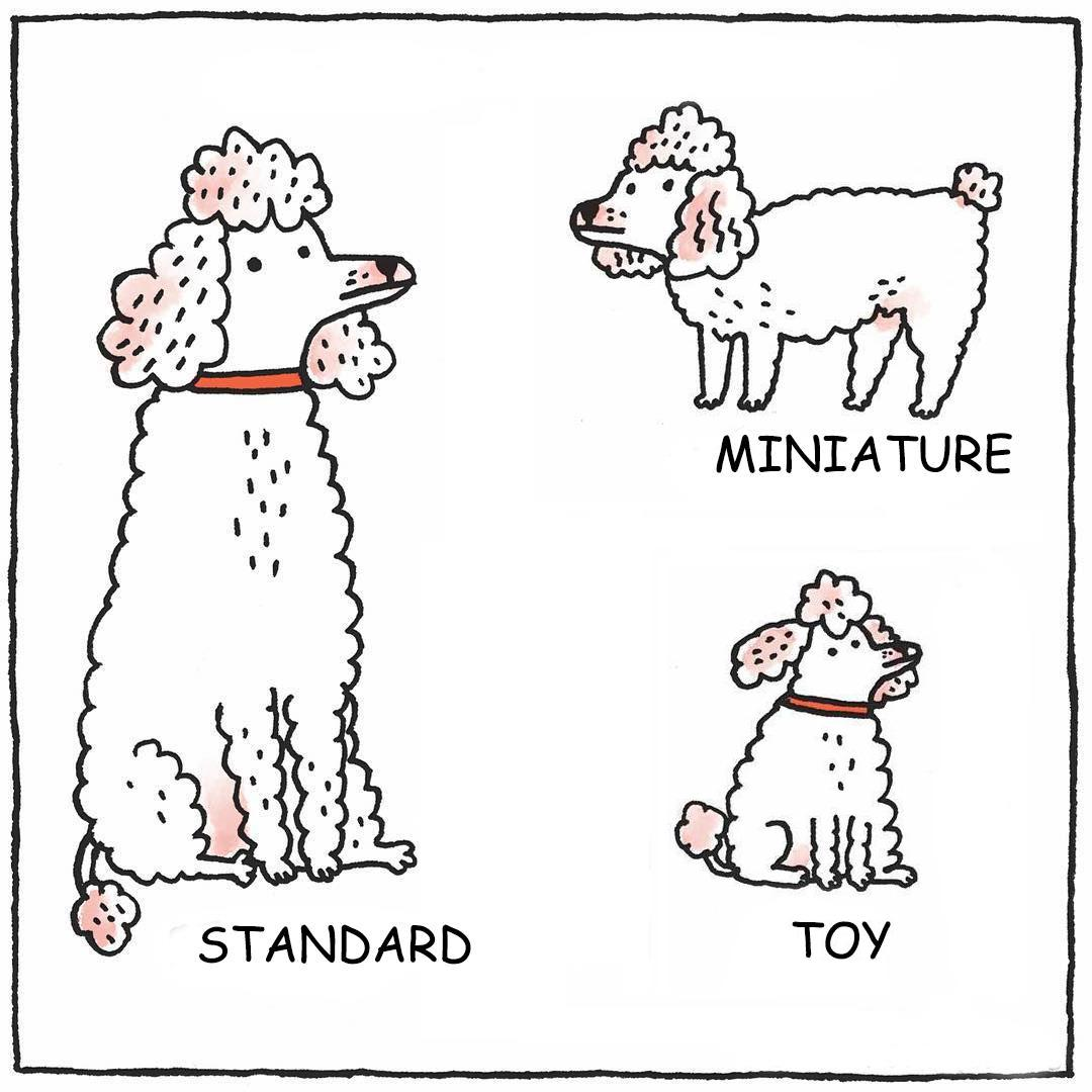 photo of the Types Of Poodle Dogs