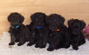 black poodles pupiies
