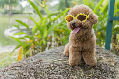 photo of the toy poodle with sunglasses
