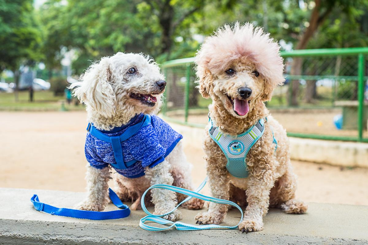 photo of the two mini poodles