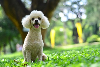 photo of the white mini poodle