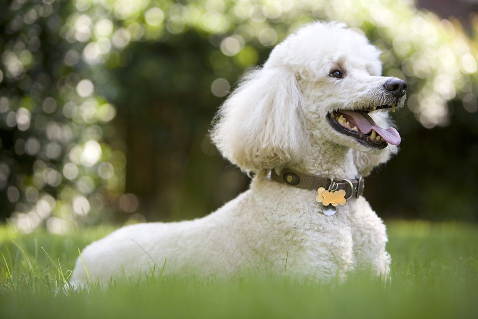 photo of the nice white poodle