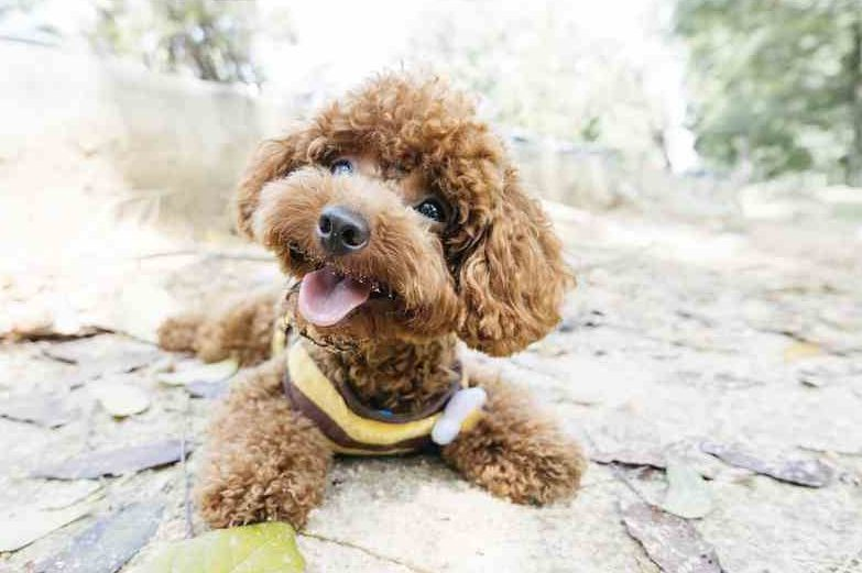 photo of the toy poodle puppy
