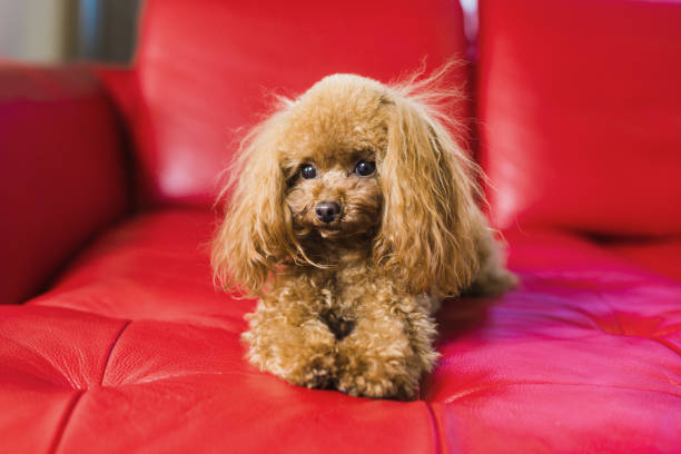 toy red poodle photo
