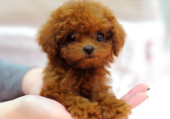 teacup red poodle