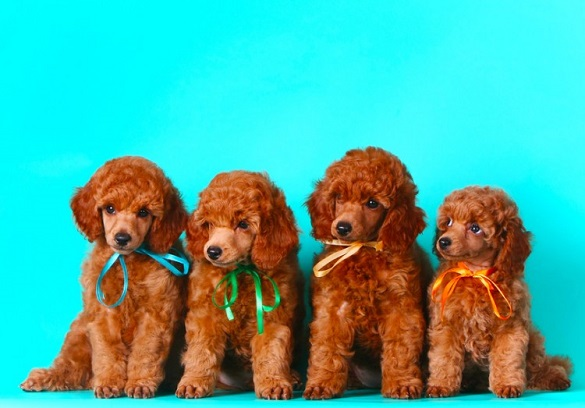 red poodle puppies photo