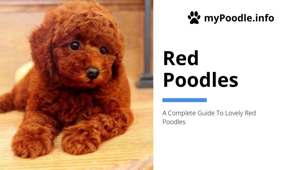 Red Poodles Poodle Dog Breed Information Facts Mypoodle