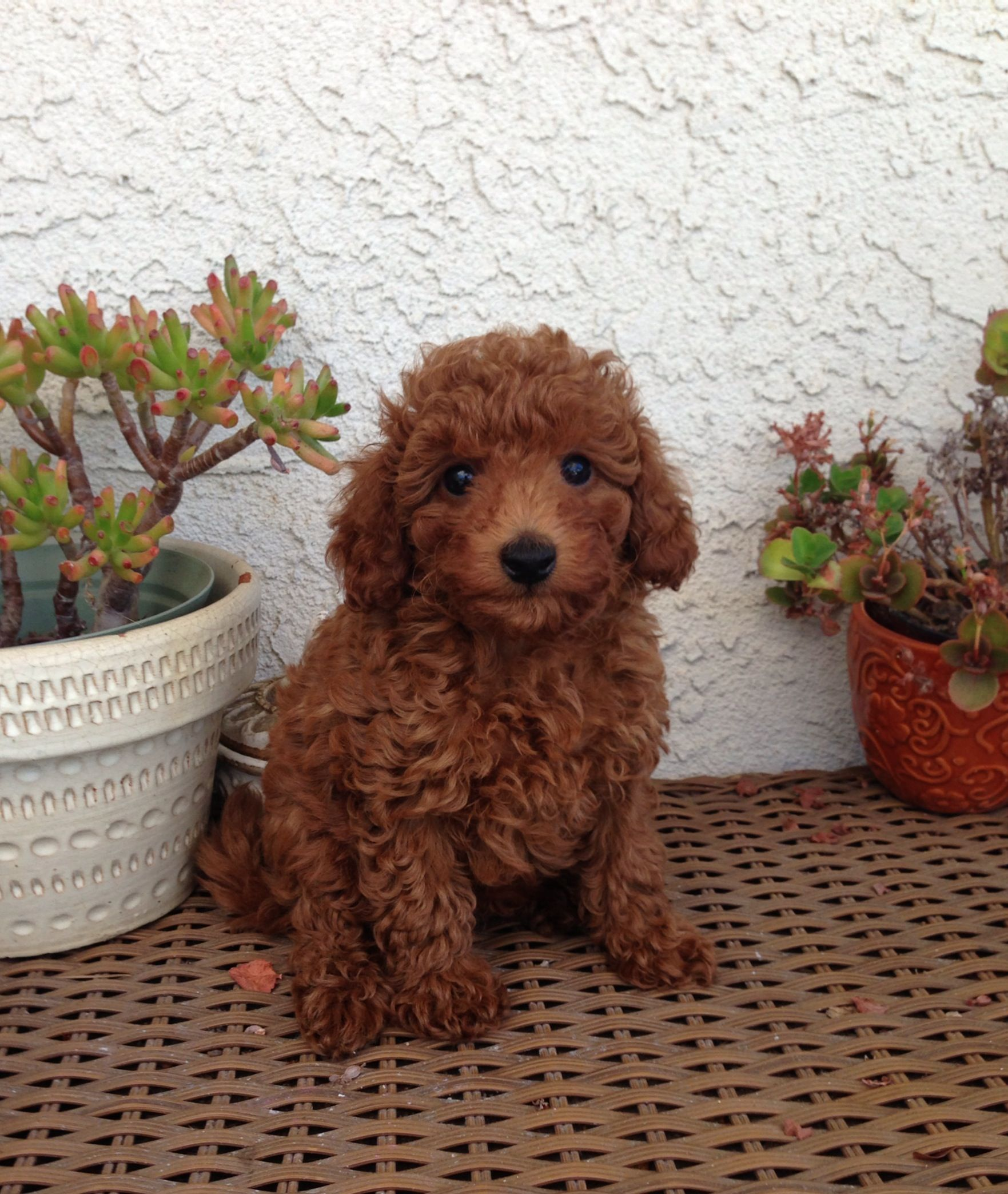 Miniature Red Poodles Photo